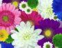 Хризантема символ счастья