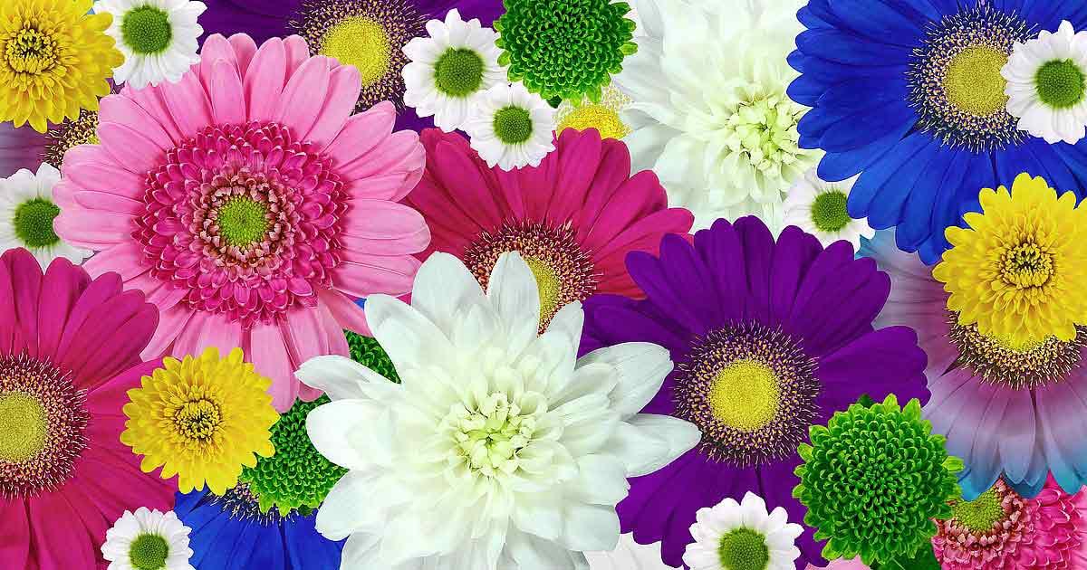 символика цветов хризантема