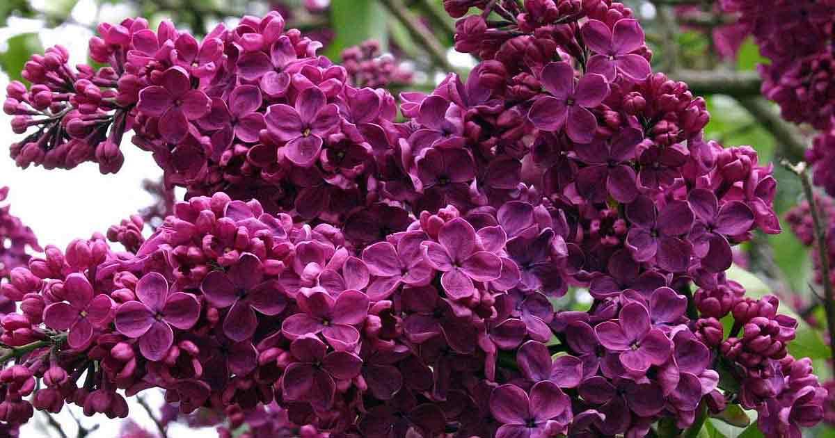 Сирень насыщенного фиолетового цвета — лучший амулет для дома