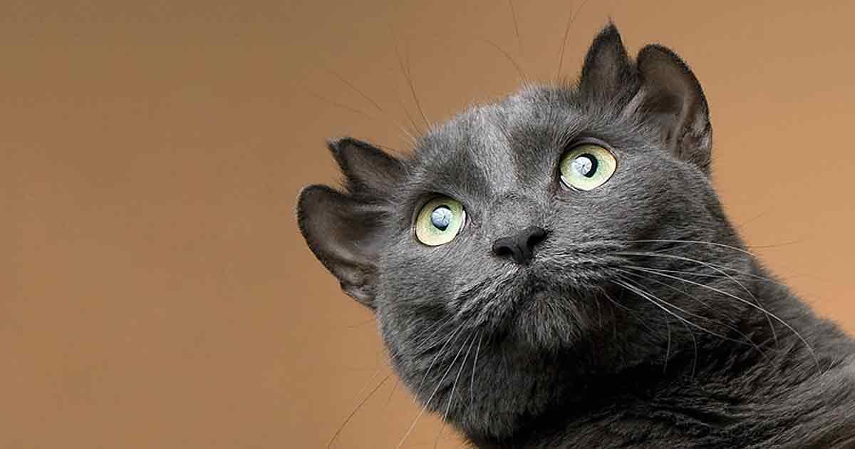 Фантазия природы — удивительный кот с четырьмя ушами